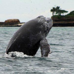 Whales-in-Panama-Meet-Our-Crustacean-Friends